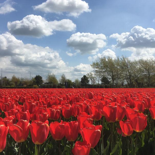 dromen_aan_zee_tulpen
